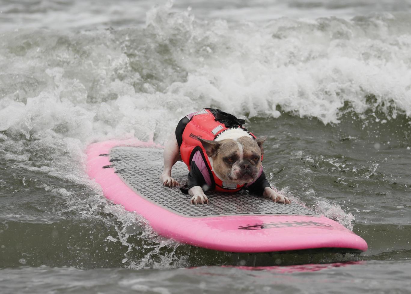 чемпионат по собачьему серфингу