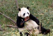Панда съела козу