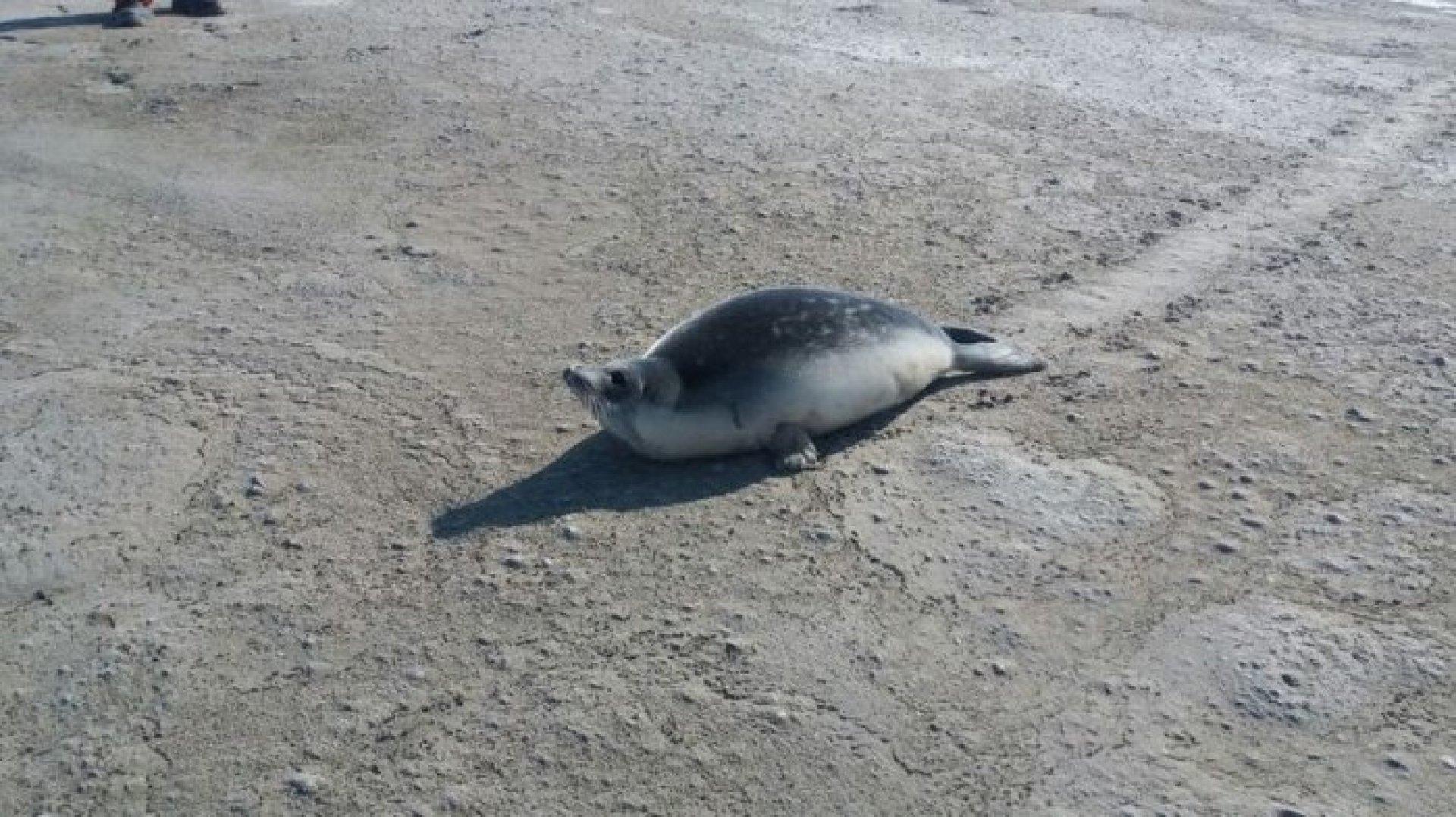 детеныш тюленя заблудился
